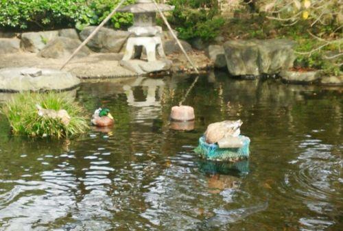 茅ヶ崎公園墓地で日向ぼっこをするカモ