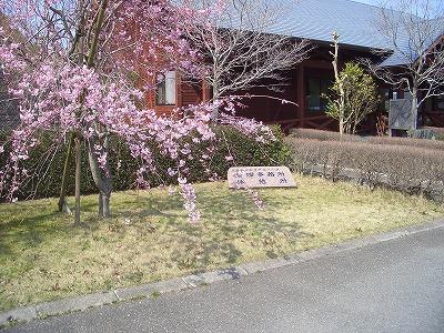 2012 五色八重桜.jpg