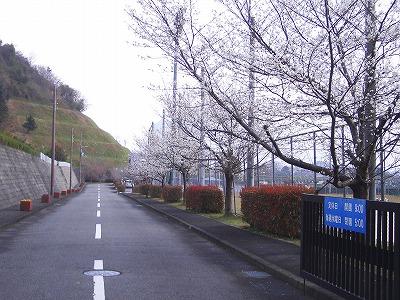 2013 五色桜①.jpg