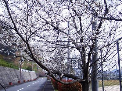 2013 五色桜②.jpg